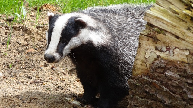 Badger Facts: 20 Awesome Facts About Badgers | Epic Animal Quest