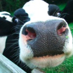10 Facts About Cows Cornwall Animals Save
