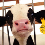 Vegan For The Animals The Truth About Cows