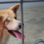 Dog Meat Trade In Cambodia