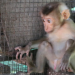 baby macaque rescue