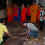 Pig Physio In The Pagoda Phnom Penh